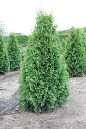 Evergreen Nursery Company Inc Product Categories Evergreens
