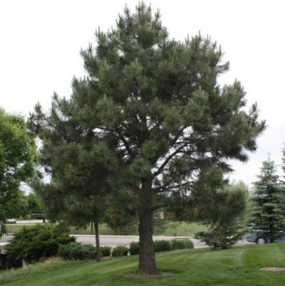 Evergreen Nursery Company Inc Pine Ponderosa
